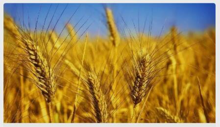 王仁湘:由汉式饼食技术传统的建立看小麦的传播